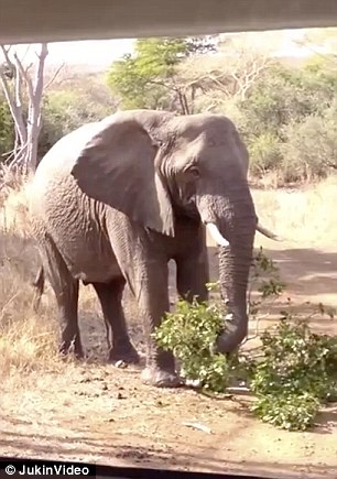 The video starts with the elephant in the road eating leaves from a branch