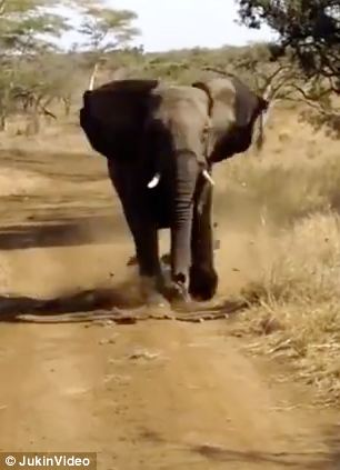 The elephant can be seen charging at a car full of tourists on safari in South Africa