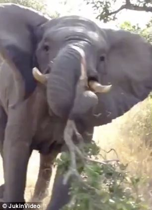 The elephant can be seen tearing a branch from a tree before charging at the car full of unsuspecting tourists