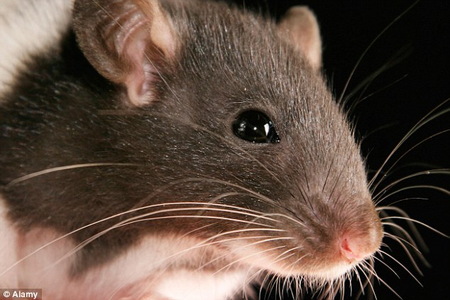 Rats on planes are a 'common phenomenon' but they can put passengers and crew in extreme danger