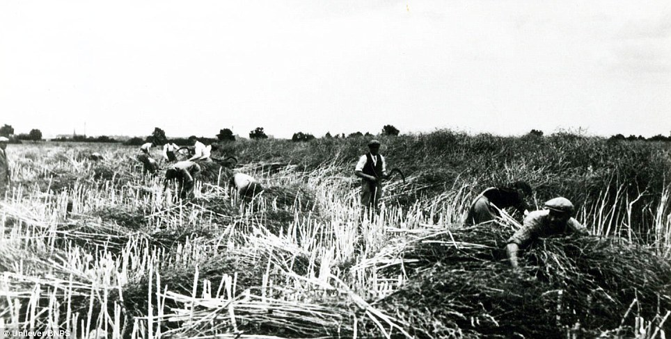Harvesting mustard by hand in the 1930s: In 1938 Colmans joined forces with Reckitt and Sons starch makers, but just one year later both companies suffered in the air raids and several departments were damaged