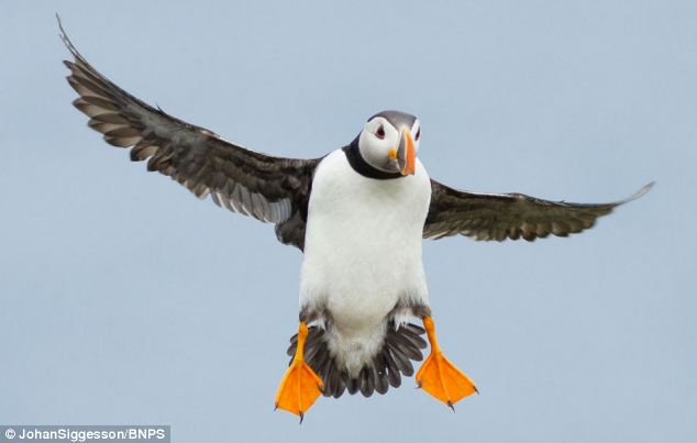 The bird's aerial dexterity was pushed to the limit on the blustery day in Fair Isle