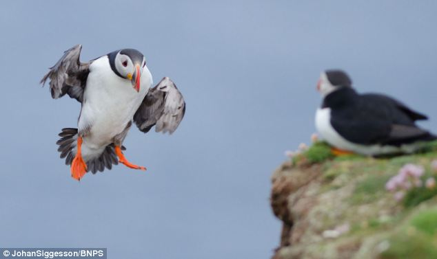Eck the puffin desperate tries to make it to the rock edge in the extremely windy conditions