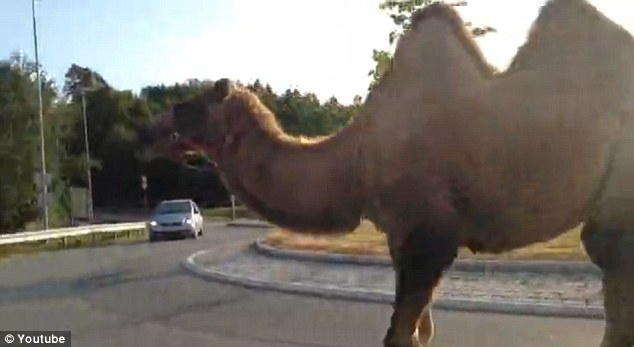 Morning walk: The animal fled its fellow performers while touring near the town of Stjørdal on the morning of July 29 and was spotted eating grass and strolling along roads