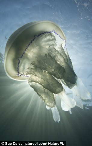 Hot water: Jellyfish sightings are already topping the 2013 record