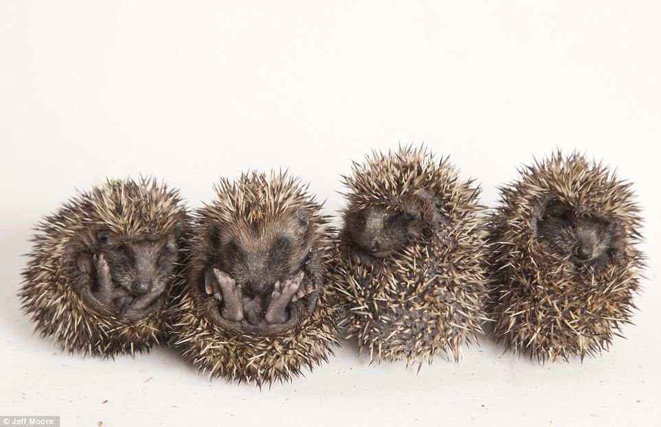 Adorable: A family of baby hedgehogs currently being cared for by Tiggywinkles wildlife hospital in Buckinghamshire after they were found abandoned in Berkshire