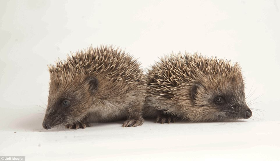 Hedgehog mothers with newborns need plenty of water to make milk for their hoglets, but the hot spell has left the land dry, which left these baby hedgehogs without her