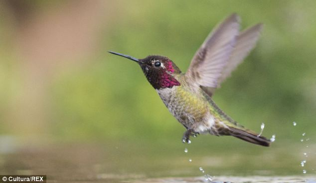 Hummingbirds are arguably nature's most energetic fliers and the only birds to hover in the air by relying on their own strength. And now scientists have found that it's the ratio of the bird's wing length to its width that makes them so efficient