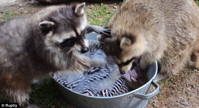 Racoons Masha and Artem 'wash' clothes at a zoo in Russia