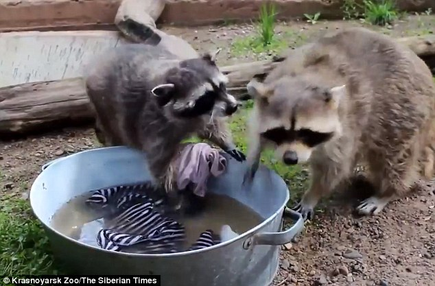 Compared: Artem (right), the male raccoon, 'was full of determination to complete the task' and Masha (left) 'tried to get him out of the wash bowl by constantly biting his ears'