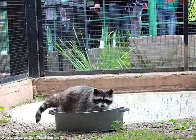 Russian zoo: The animals are famous for cleaning their food but the aim was to go one step further
