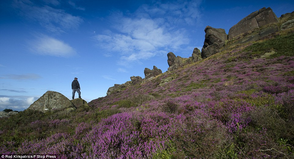 Last signs of summer: A walker stands in the late-summer heather on Ramshaw Rocks, near Leek, in the Staffordshire Peak District