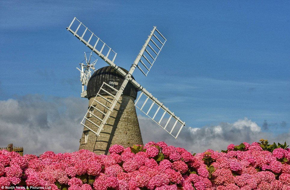 End of blue skies? Whitburn Windmill on the South Tyneside coastline today with a huge display of pink hydrangea in full bloom