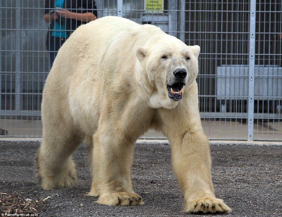 Roar or yawn? A sleepy looking Victor the polar bear takes his first steps on English soil at Yorkshire Wildlife Park - his new home after moving from Holland