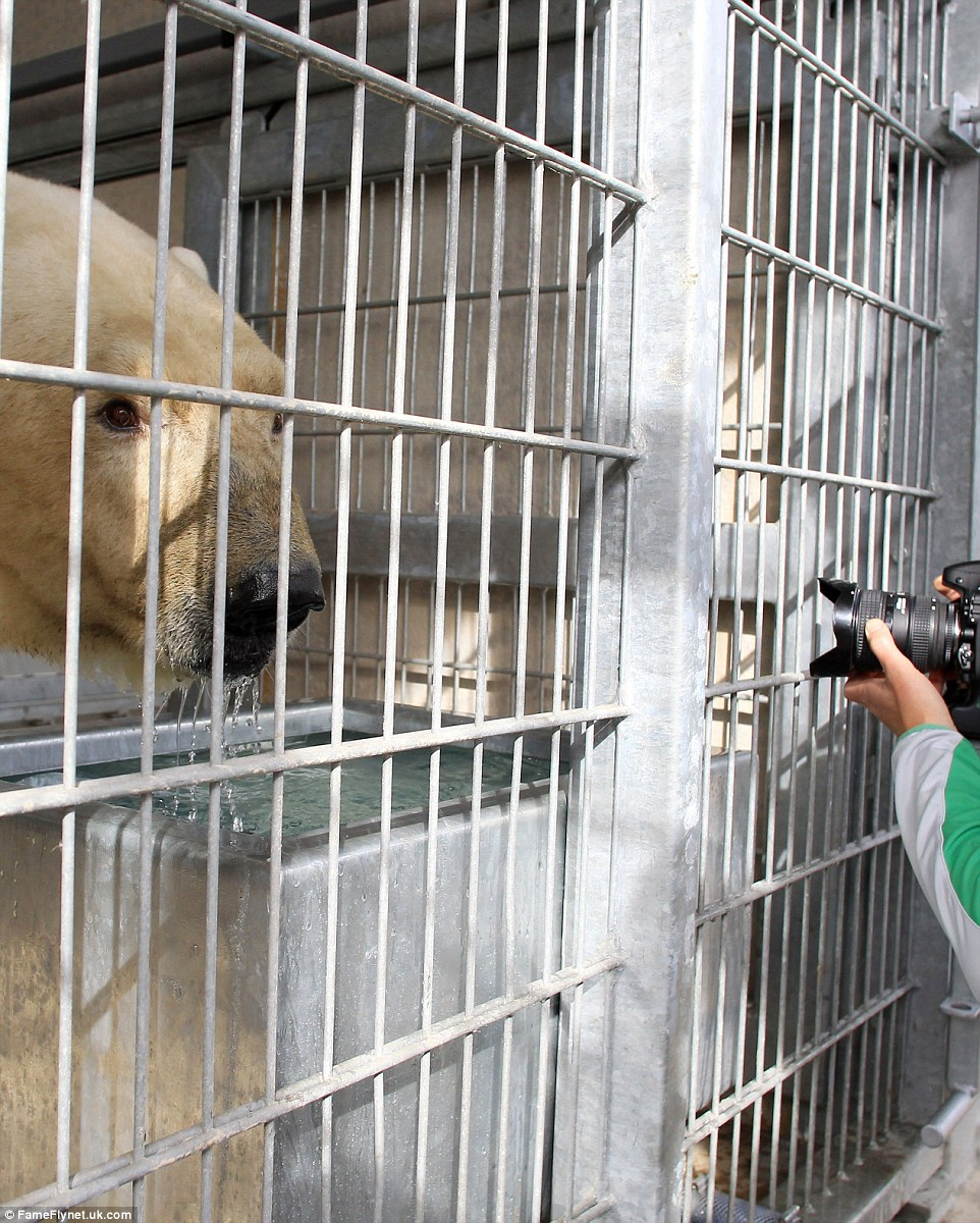 Victor, who is 15 years old, was transported in a specially-adapted cage for his trip to the park in Doncaster, South Yorkshire