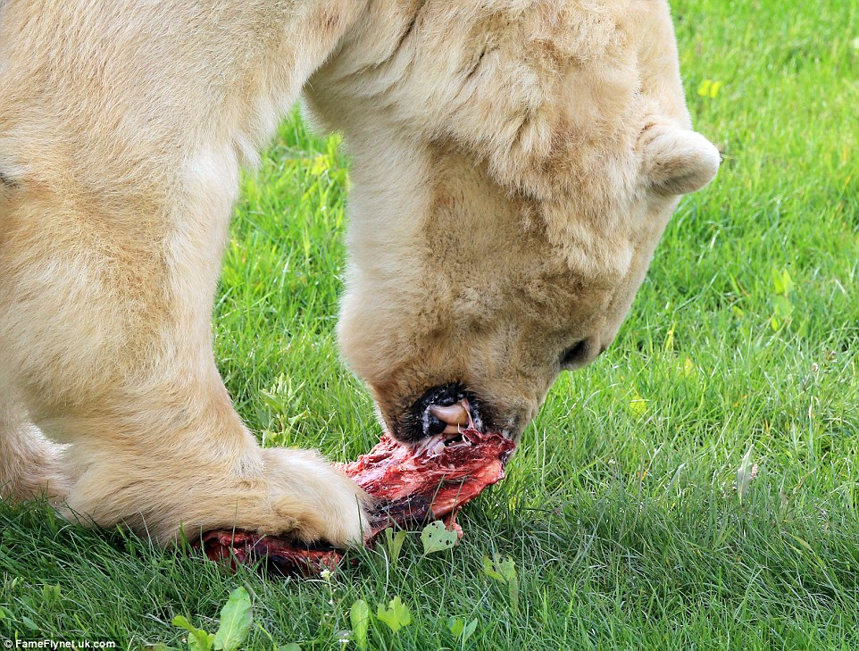 Hungry: England's only polar bear uses a paw to hold down a chunk of meat as he gnaws at his lunch