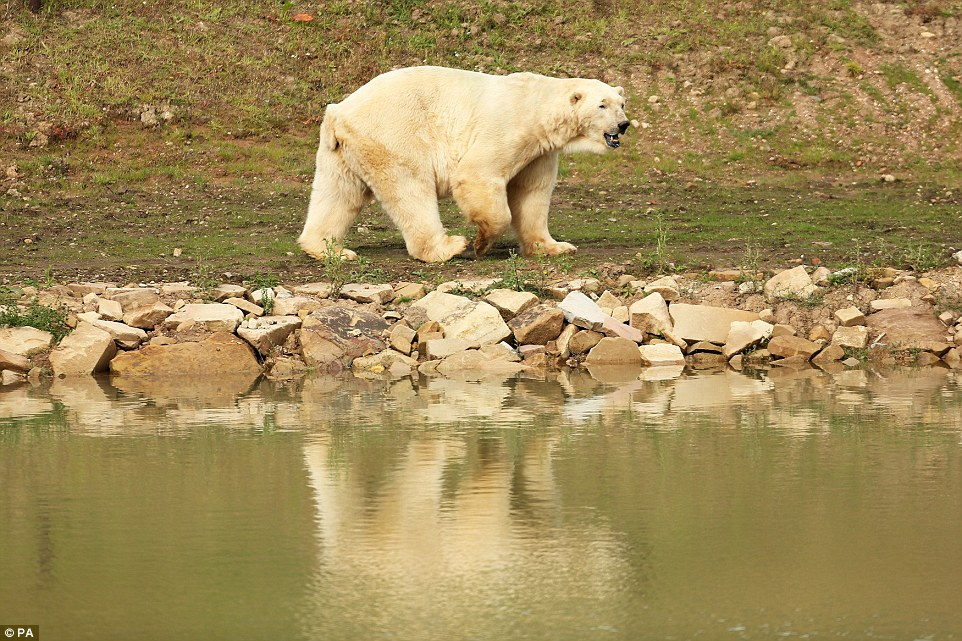 Enjoying retirement? Victor wanders around his 8m deep lake where he will spend his retirement. He had to leave his role as Europe's top breeder because too many of the continent's bears are his children