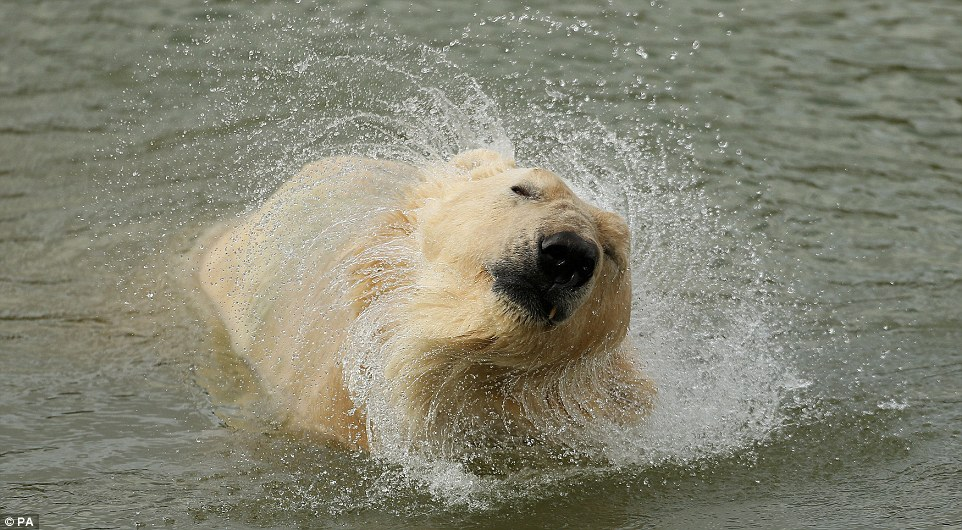 Drying off: The retired polar bear looks more like a large dog as he shakes the water off his fur
