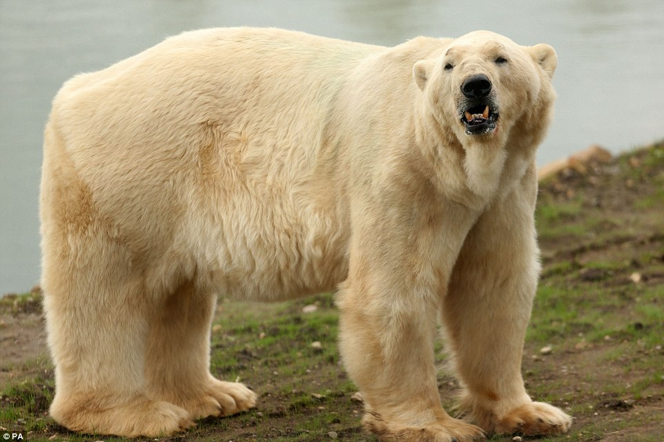 Fluffy but fierce: Despite their cute and cuddly appearance, polar bears are some of the strongest animals on the planet