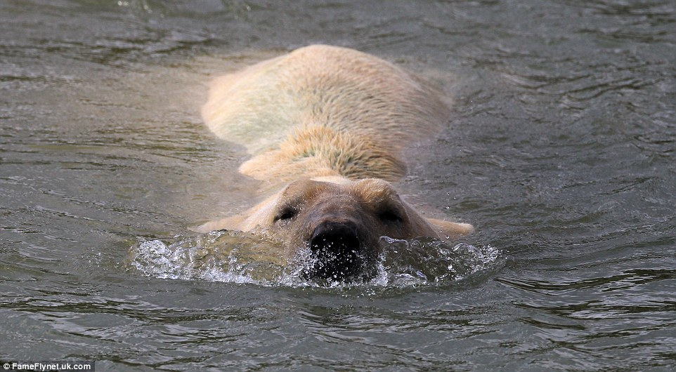 Taking a dip: Park officials say Victor has enjoyed taking long swims in the lakes in Project Polar and is often seen in the water