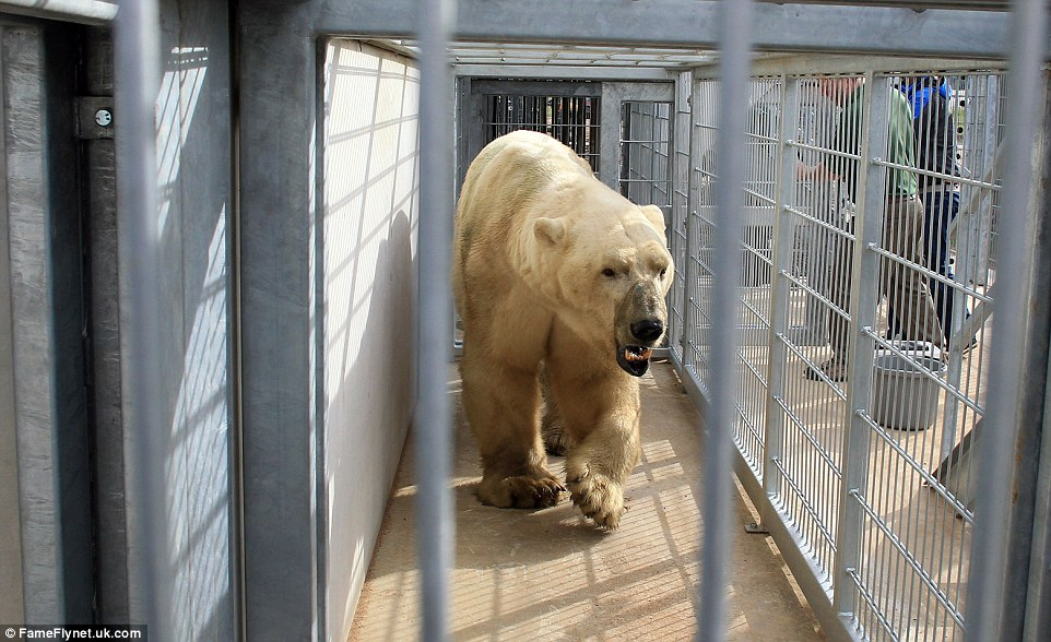Victor travelled with his keeper at the Rhenen Zoo, Holland, who will stay with him for his first few days in Yorkshire to help him get used to his new climate
