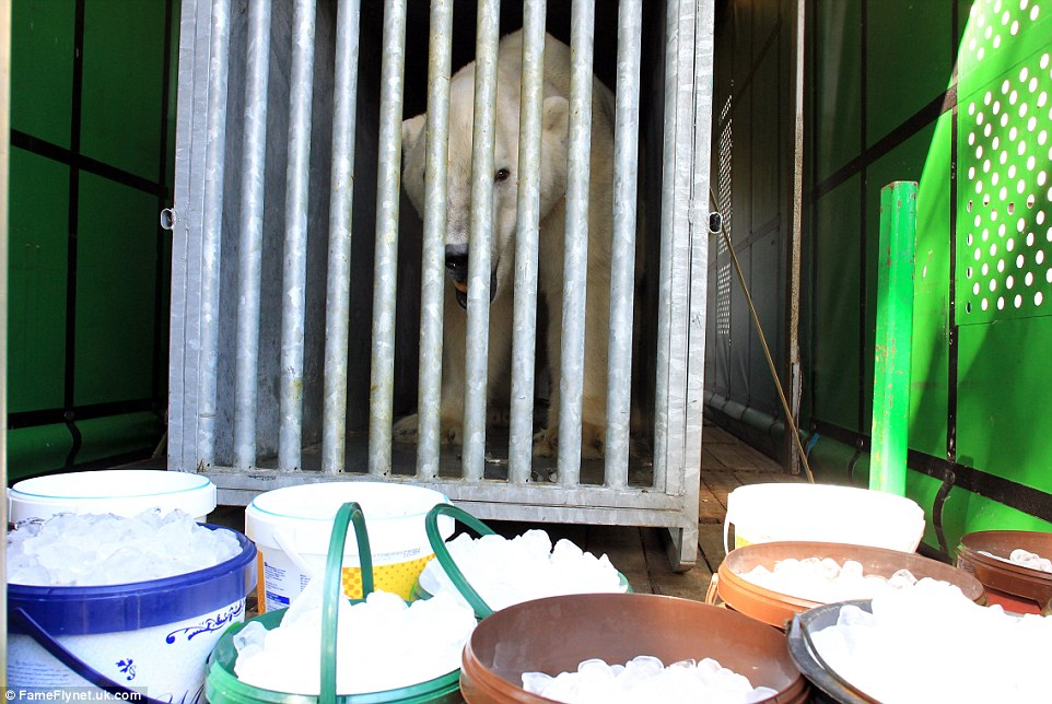 Icy: Ice cubes are left in buckets near Victor's cage to help him stay cool during the journey to England