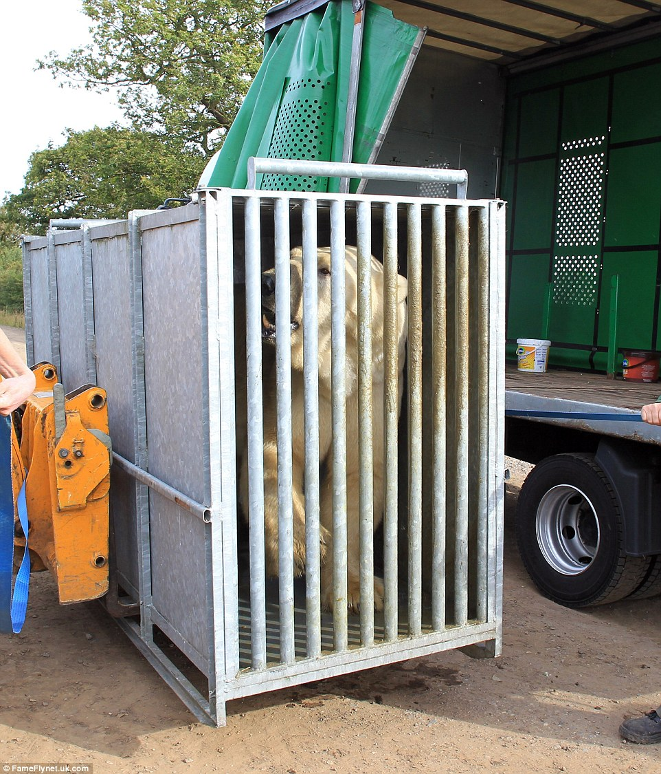 Arriving: The giant polar bear is taken off the lorry after getting to Doncaster. Now the keepers have to transport into his enclosure