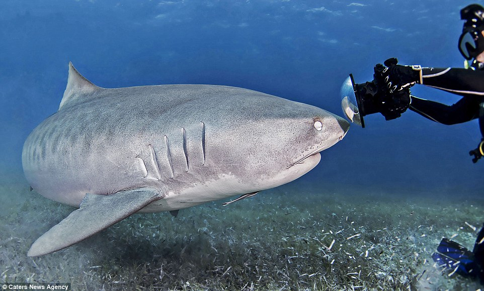 Say cheese: The friendly tiger shark came nose-to-nose with Veleria Serna's camera during a deep sea dive in the Bahamas