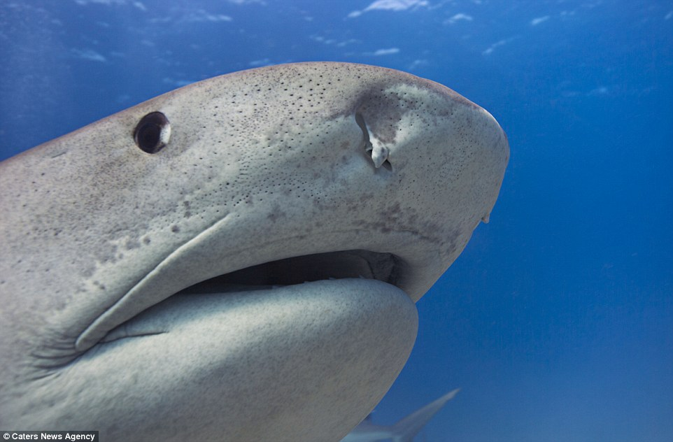 Getting up close and personal: The divers said there were not scared at any point but were always respectful of the sharks