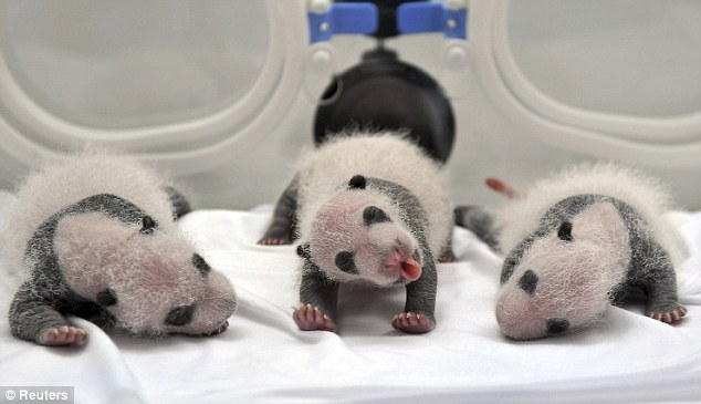 Bear necessities: One of the newborn panda triplets pokes out its tongue as it enjoys a relaxing stretch while its two siblings snooze