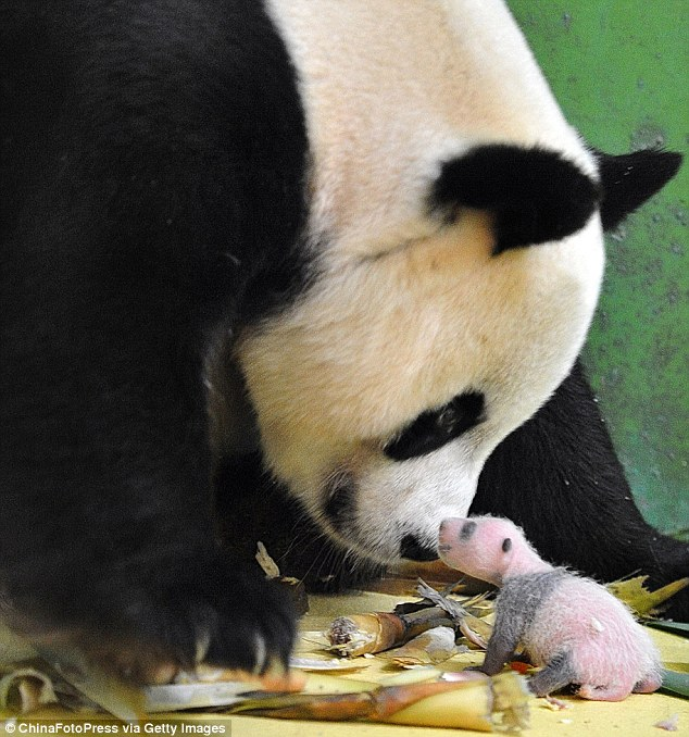 Hello mum: One of the triplets gets up close to its mother Ju Xiao at the zoo in the southern Chinese city of Guangzhou