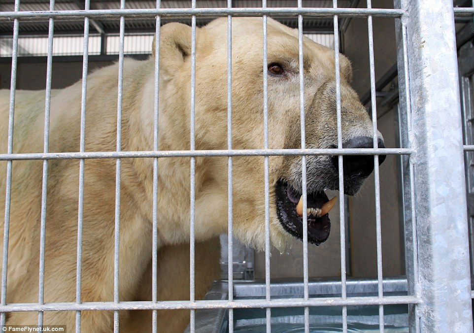 Feeling trapped: After a 12-hour journey locked inside the cramped metal cage, the polar bear was let out to meet his new friends who described him as 'very confident'