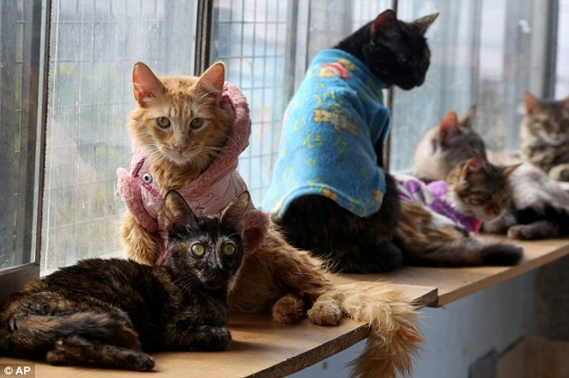 Many street cats in Lima turn out to have the disease, as well as fleas, parasites and malnutrition