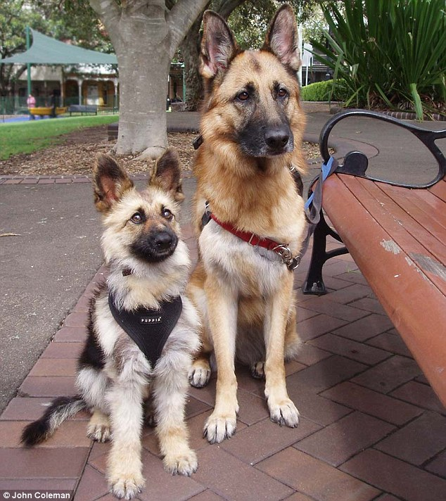 Typically German Shepherds with dwarfism aren't genetically blessed with the same level of cuteness Tiger possesses, seen here with the Coleman's other dog Lydia
