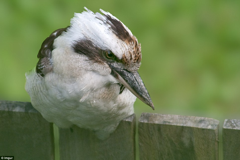 One user shares their a personal moment with a 'Kookaburra on the back fence'