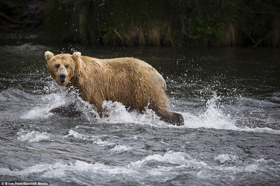 Splashing about: Water crashes around this huge, beautiful beast who is taking a minute out to spy where it will try and catch its next victim