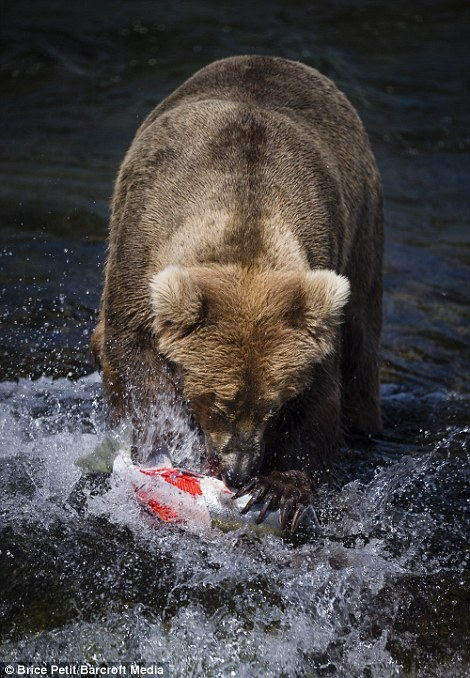 Snapped: A bear caught on camera by 32-year-old Swiss photographer Brice Petit atBrook Falls in the Katmai National Park, Alaska