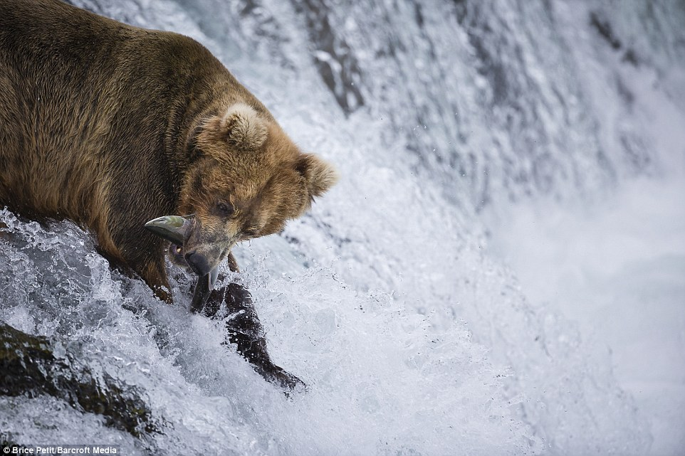 White water fishing: The salmon have to undergo an incredible journey upstream to get to their breeding ground, but thanks to the bears many never make it
