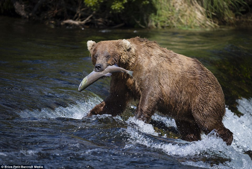 Tuck in: This bear strides victoriously away from the more treacherous waters to calmer tides to enjoy its prize which lies limply in its mouth