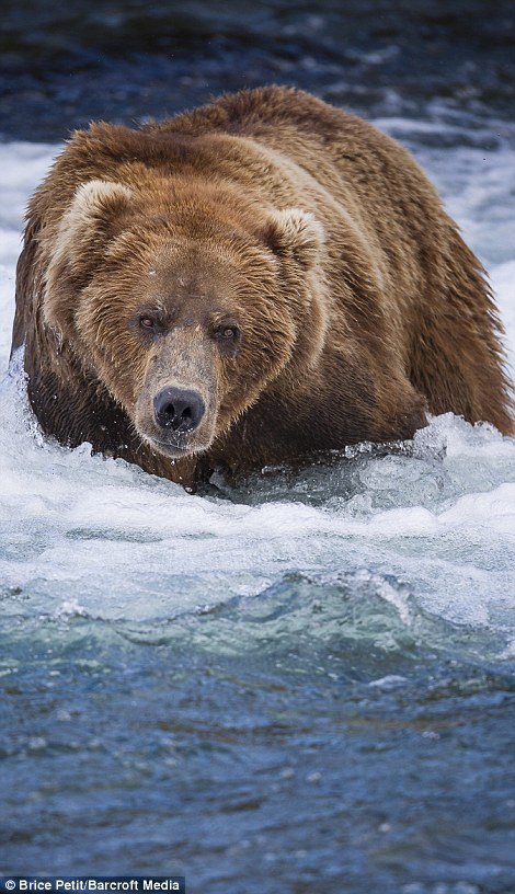 Wading: Another bear stalks through the icy blue waters looking for its next victim