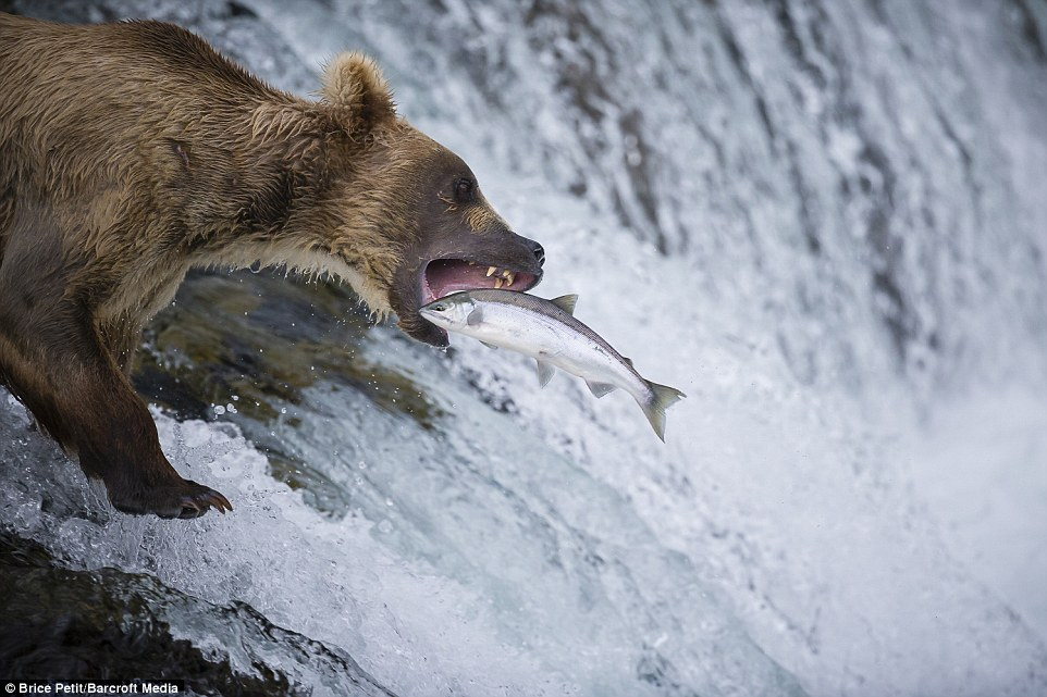 Look out! One of the majestic bears tries to snatch a leaping salmon in its mouth as the fish battles against the odds to make its way up the river