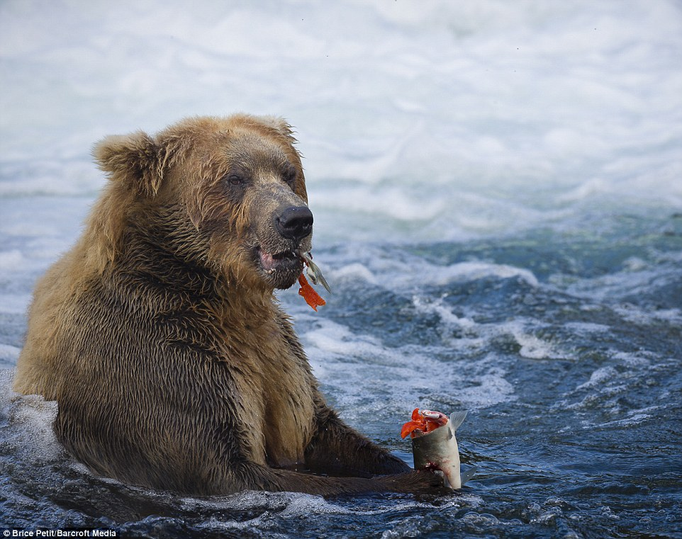 Just like eating an ice cream: This giant grizzly bear enjoys a bit of respite from fishing and tucks into a freshly-caught salmon in the cold waters