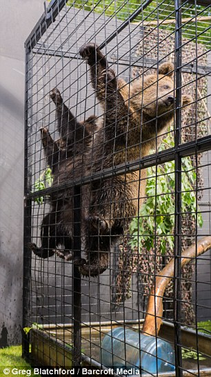 Get me out of here! The cubs climbed up the railings  after organisers decided to go ahead despite protests