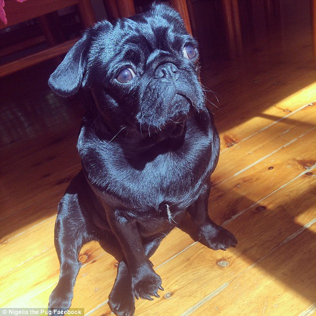 Nigella (AKA Jelly) the Pug (pictured) has more than 12,000 facebook fans. Her owners say she's a celebrity in the making.