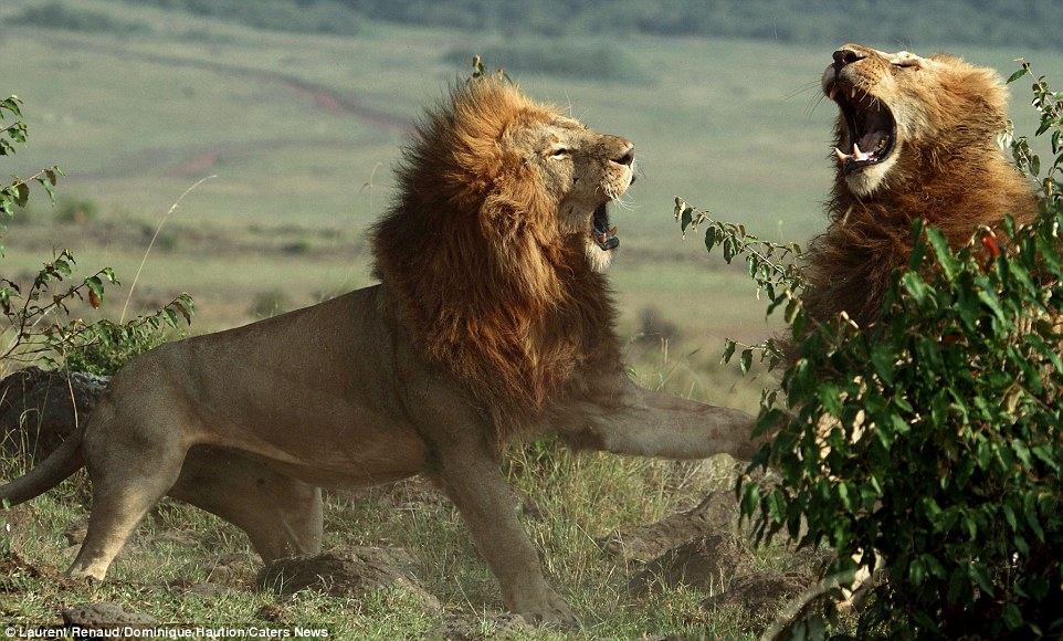 Brutal: Two huge male lions were pictured brawling for dominance in Kenya