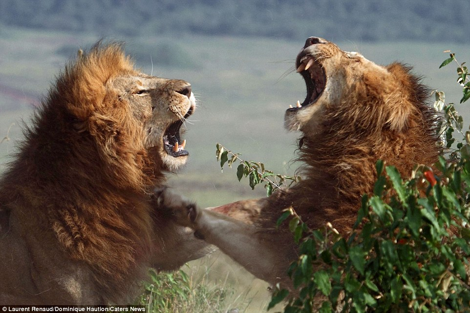 Snapping to it: They were captured fighting by Laurent Renaud and Dominique Haution both teachers from northern France, who are seasoned safari photographers