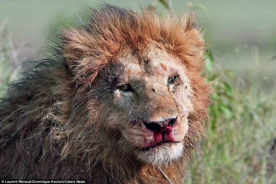 Injured: Both lions sustained fairly serious wounds in the fight