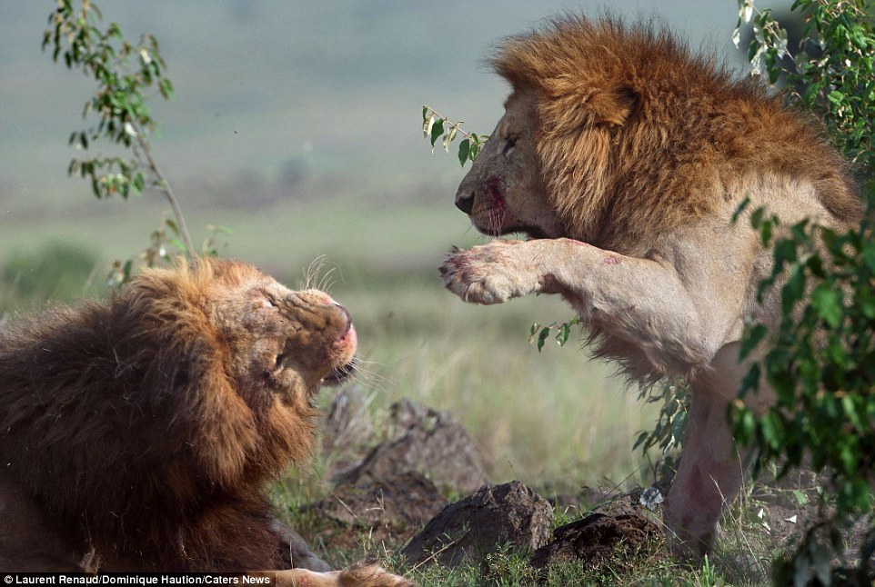 Food gathering: Although male lions have tremendous strength and power, it's actually the slightly smaller female that does most of the hunting