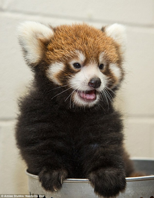 Welcome to the world:The Nashville Zoo is welcoming a newborn red panda