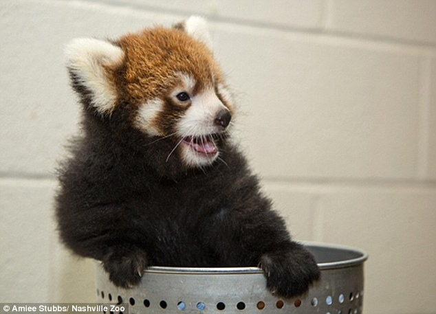 The female cub was born in early July. Red pandas are considered vulnerable to extinction due to habitat destruction